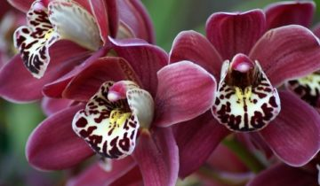 сон про орхидею