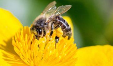 сон про пчелу