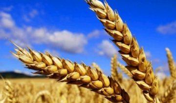 сон про пшеницу
