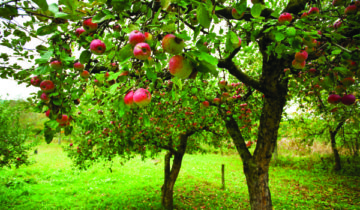 сон про яблоню
