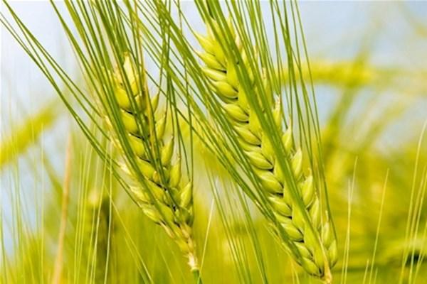 сон про жито