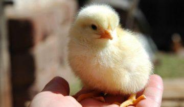 сон про цыпленка