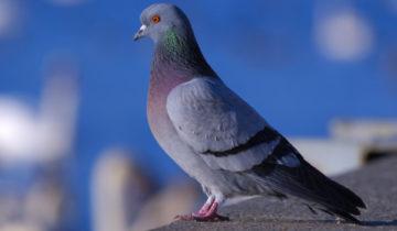 сон про голубя