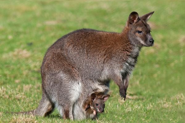 сон про кенгуру