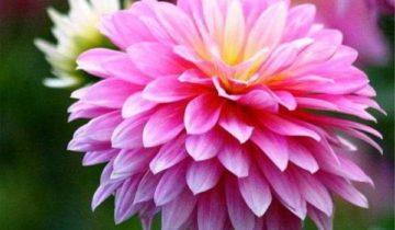 сон про хризантему
