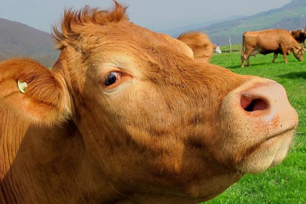 сон про корову