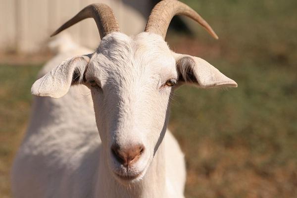 сон про козла