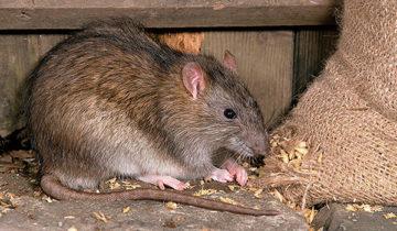 сон про крысу
