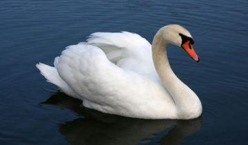 сон про лебедя