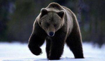 сон про медведь