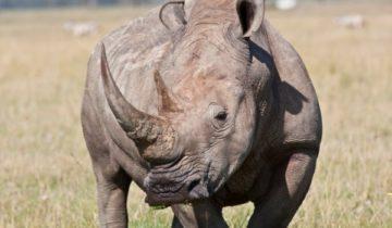 сон про носорога