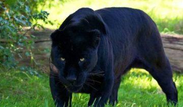 сон про пантеру