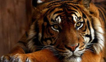сон про тигра