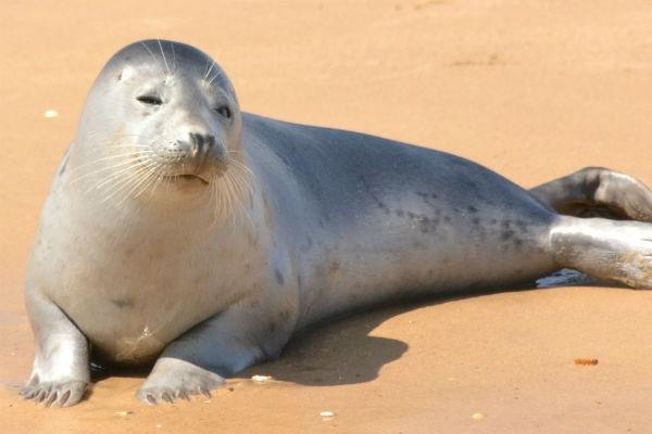 сон про тюленя