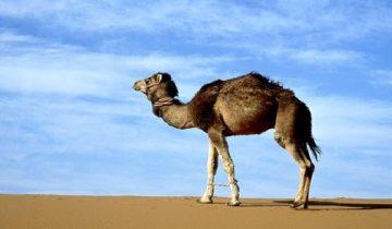 сон про верблюда