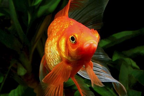 сон про золотую рыбку